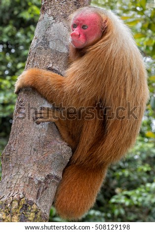 Red Uakari monkey in Amazon