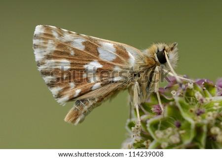 Red-underwing Skipper (Spialia sertorius) in the pyrenees  - stock photo