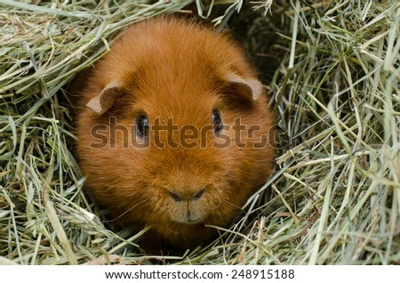 red us-teddy in hay - stock photo