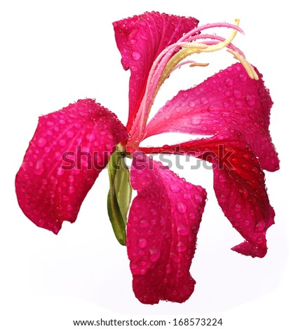 Red Variegata or Kanchon flower over white background - stock photo