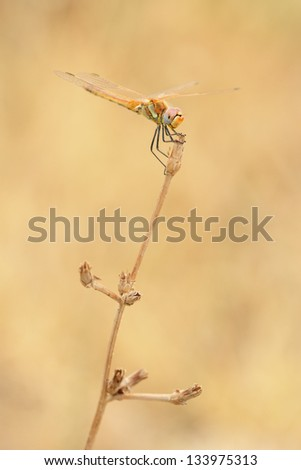 Red veined darter dragonfly perching on a stem