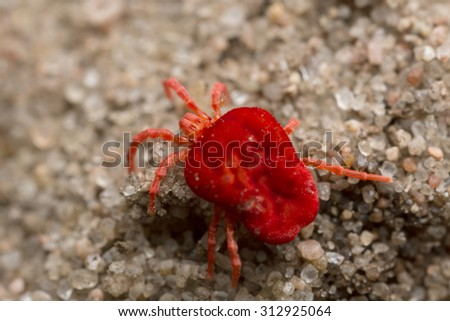 Red velvet mite on sand, extreme close-up with high magnification - stock photo