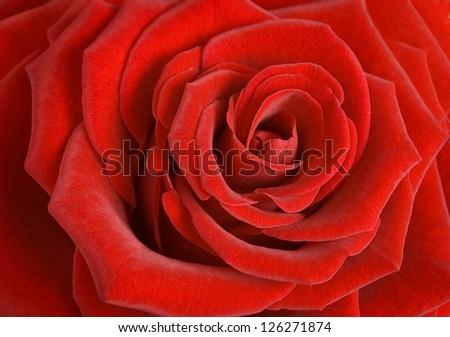 Red velvet rose macro - stock photo
