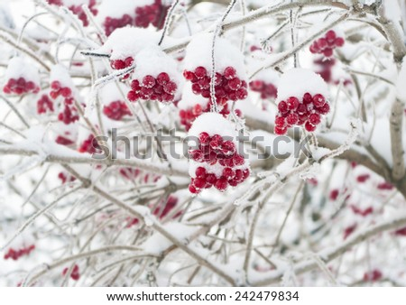red viburnum berries covered with snow on tree, Russia - stock photo