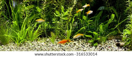 Red Wag Swordtail with mollies and guppies in a planted tropical community aquariumâ?? focus on a red fish