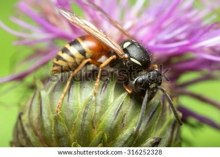 Red wasp, Vespula rufa on thistle - stock photo