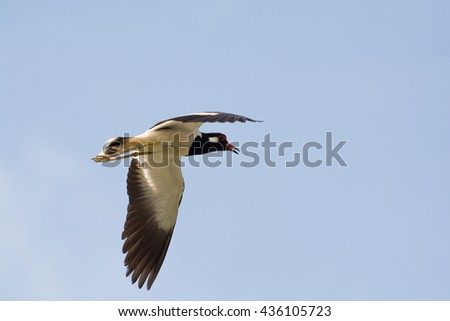 Red-wattled Lapwing bird flying in the sky, Thailand.