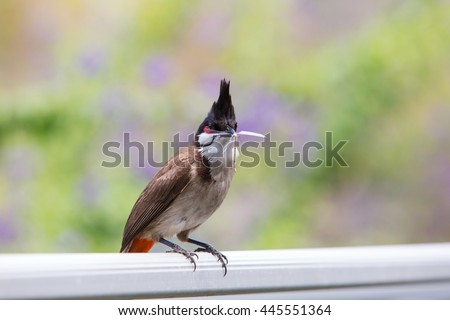 Red-whiskered Bulbul in garden.
