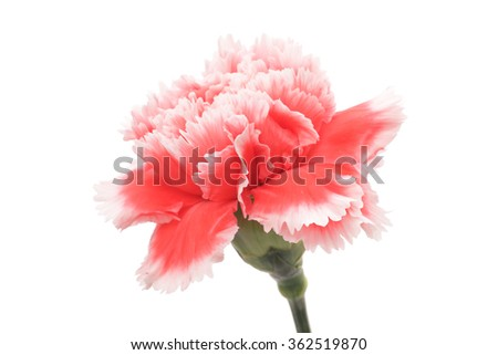 Red white carnation isolated on white background