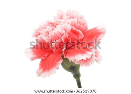 Red white carnation isolated on white background - stock photo
