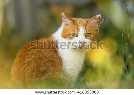 red-white cat