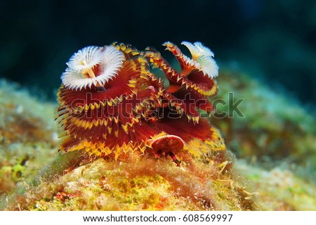 Red white Christmas tree worm on the coral reef. Black background, colorful reef. Visible body details and crowns. Scuba diving underwater adventure on the tropical cora reef with underwater life.