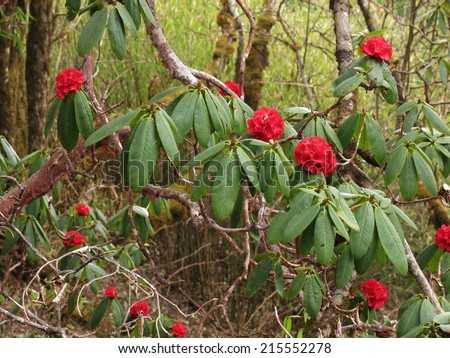 Red wild rhododendron - stock photo