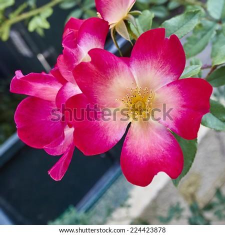 red wild rose flower closeup in the garden - stock photo