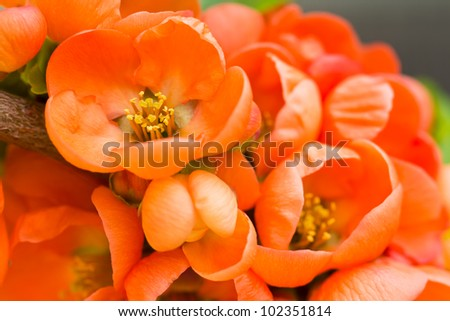 Red wild rose flowers closeup - stock photo