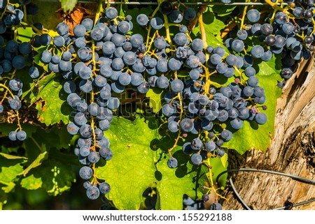 Red wine grape bunches in the sunlight growing in a local farmer vineyard