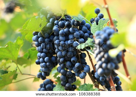 Red Wine Grapes - stock photo