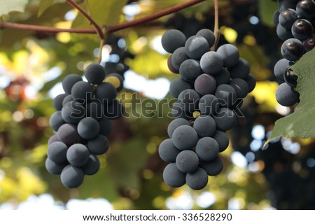 Red wine grapes clusters growing on the grape vine - stock photo