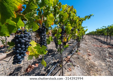Red wine grapes in a vineyard waiting to get picked - stock photo