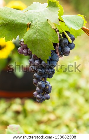 Red wine grapes. Large bunch of red wine grapes against barrel for wine. Nature background with Vineyard. Wine concept. Shallow DoF - stock photo