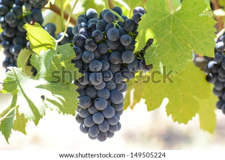 Red Wine Grapes on the Grapevine - stock photo