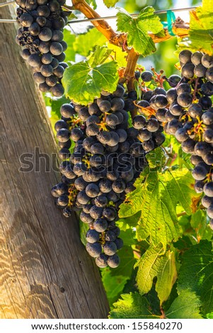 Red wine grapes on the vine glowing from the afternoon sunset - stock photo