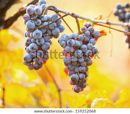 Red wine grapes on vineyard - stock photo