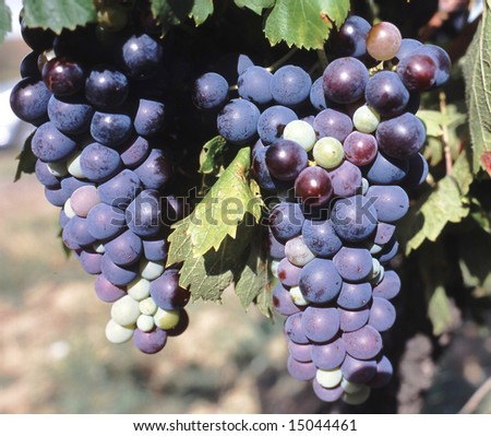 Red Wine Grapes Ready to Harvest