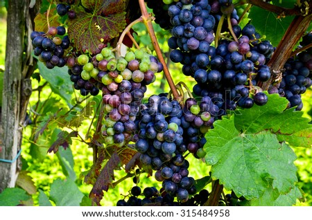 Red wine: Vine with grapes just before harvest, Pinot noir grapevine - stock photo