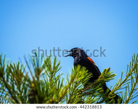 Red-wing blackbird calling from top of pine tree.