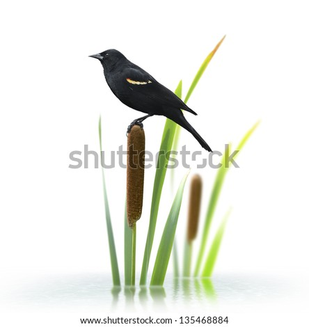 Red Winged Black Bird Perching On A Cattail Plant