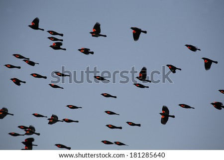 Red winged Blackbirds in fllight - stock photo