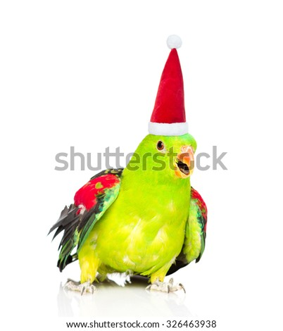 Red-Winged Parrot (Aprosmictus erythropterus)in red christmas hat. isolated on white background - stock photo