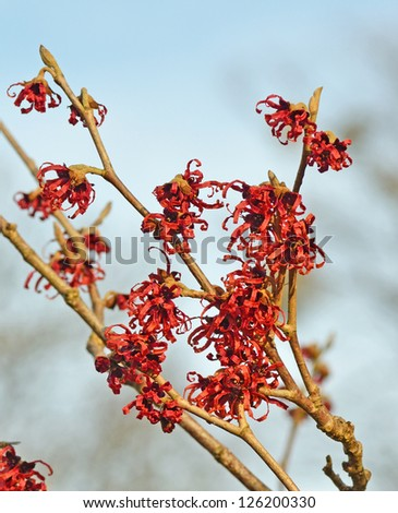 Red Witch Hazel shrub with blue sky background - stock photo