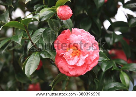 Red with white Camellia flowers,beautiful red flowers blooming in the garden in spring,closeup  - stock photo