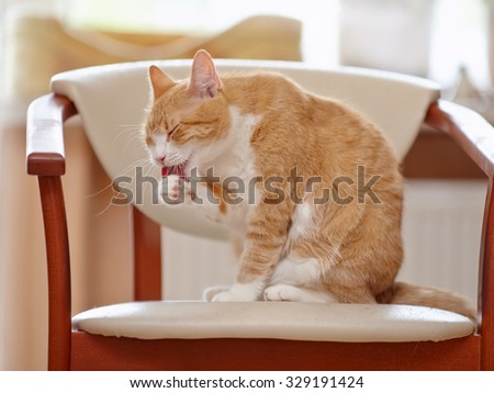 Red with white the domestic cat washes sitting on a chair. - stock photo