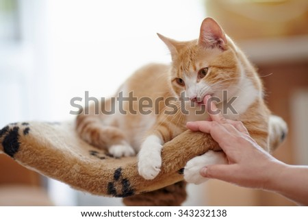 Red with white the domestic striped cat lies. - stock photo