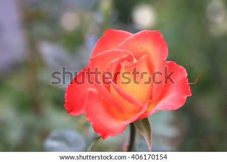 Red with yellow rose,beautiful rose in full bloom in the garden in spring,closeup - stock photo