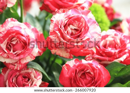 Red with yellow roses,beautiful roses in full bloom in the garden in spring,closeup  - stock photo