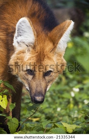 Red Wolf Close up Portrait - stock photo