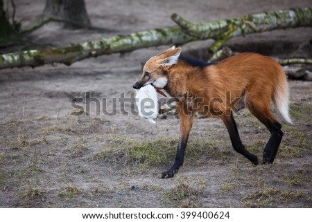 Red wolf running with prey in his mouth
