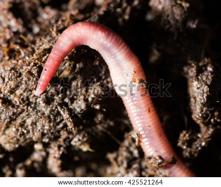 red worms in compost. macro