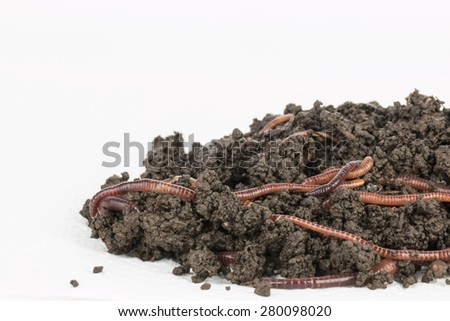 Red worms in compost - Stock image. - stock photo