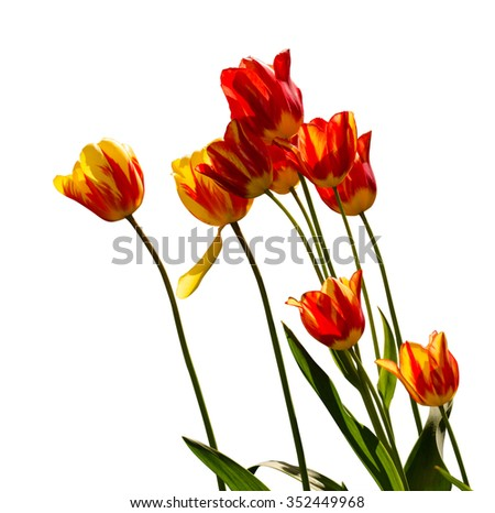 Red, yellow and orange tulips