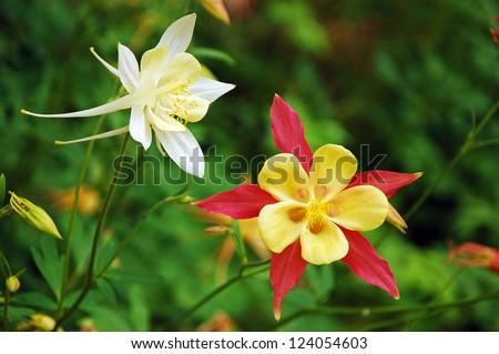columbine flowers stock images, royaltyfree images  vectors, Beautiful flower