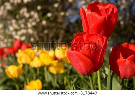 red & yellow tulips - stock photo