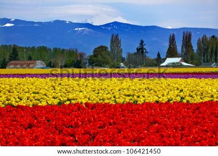 Red Yellow Tulips Flowers Mt Baker Skagit Valley Farm Washington State Pacific Northwest - stock photo