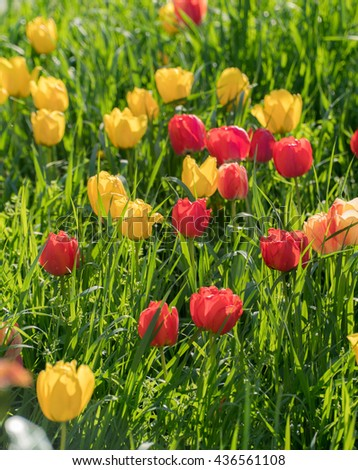 Red, yellow tulips in garden field. High green grass lawn, meadow with tulips flowers. Vivid, bright, colorful, saturated spring background. Tulips blossoming, blooming in April, may. Sun light photo - stock photo