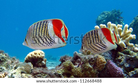 Redback Butterflyfish couple - Chaetodon paucifasciatus - stock photo