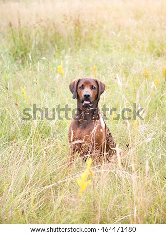 Redbone Coonhound and Rottweiler Mix Dog Enjoying Outdoors on Nice Day